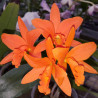 BRASSOLAELIOCATTLEYA YOUNG MIN ORANGE GOLDEN SADISFACTION
