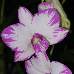 DENDROBIUM ENOBI PURPLE SPLASH