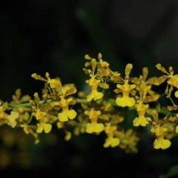 ONCIDIUM FRAGANCIA