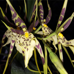 BRASSIA CHIEFTAINS