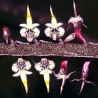 BULBOPHYLLUM MAXIMUM