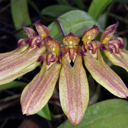 BULBOPHYLLUM SP. MADAGASCAR