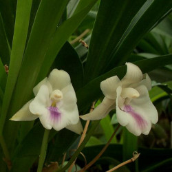 COCHLEANTHES CANDIDA