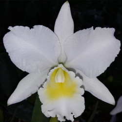 CATTLEYA MARY JANE PROEBSLE