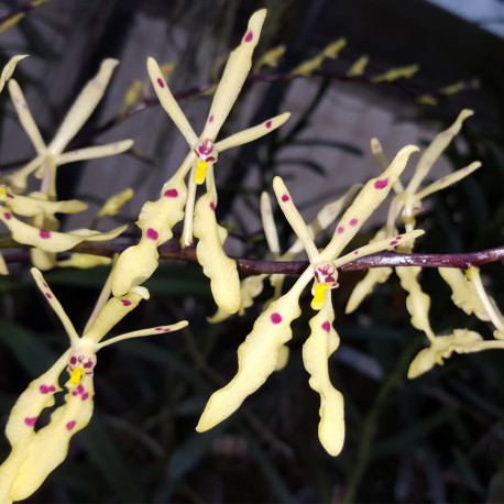RENANTHERA CITRINA